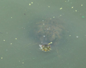 Hello Mr. Turtle