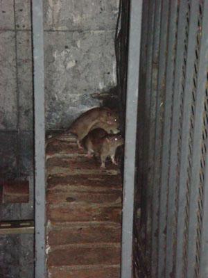 Rats, look at the rats.