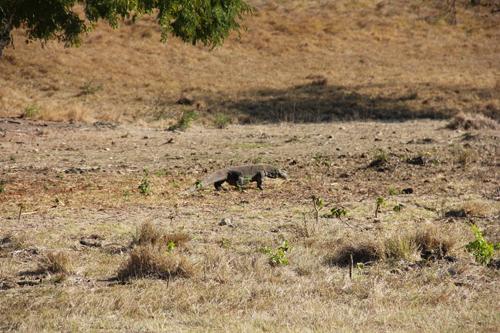 Komodo on the Prowl