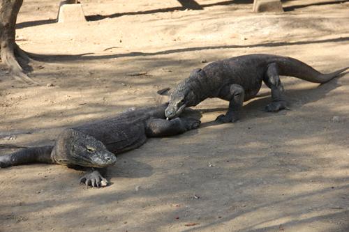 Two Komodos