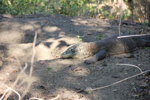 A Komodo Guards Her Nest