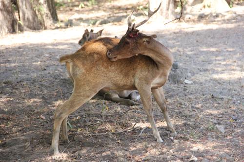 Bleeding Deer