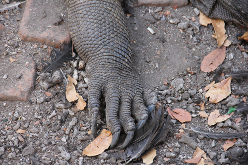 Komodo Dragon Claws